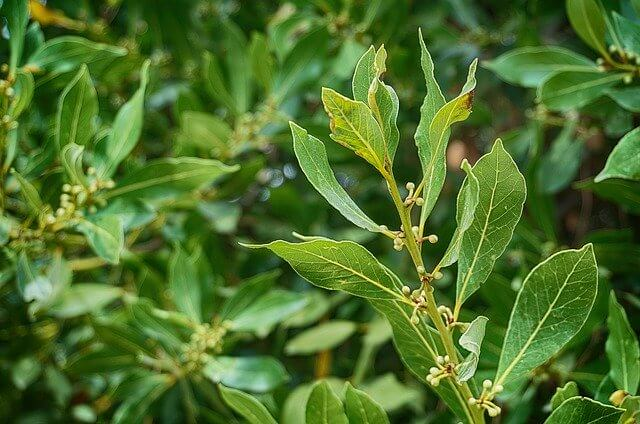 kirschlorbeer pflanzenabstand