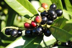 kirschlorbeer-frucht