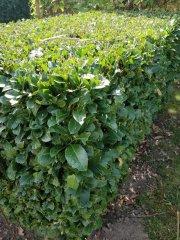 kirschlorbeer-grün