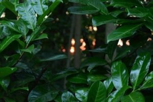 kirschlorberren-dunkelgrün